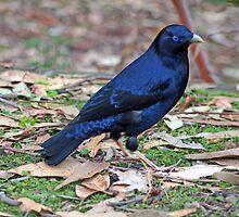 Satin Bowerbird (Ptilonorhynchus violaceus) by Laurakeet