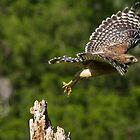 Hawk Leaving Dead Tree by imagetj