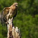 Hawk Resting on  Dead Tree by TJ Baccari Photography