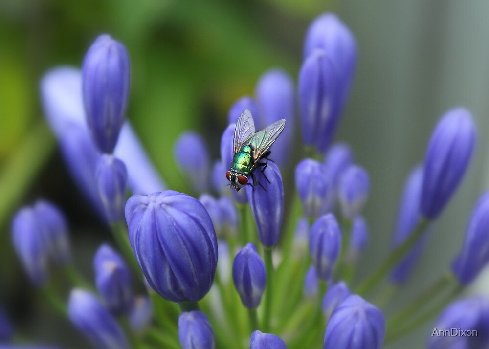 Fly on Agapanthus by AnnDixon