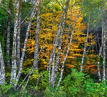 It's All About The Colors ~ Alder Trees ~ by Charles & Patricia   Harkins ~ Picture Oregon