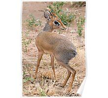 Dik Dik Antilope Poster