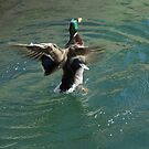 Mallard Duck Flapping Wings by Marie Van Schie