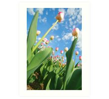 Pink and White Tulips 01 Art Print
