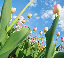 Pink and White Tulips 01 by Keith Thomson