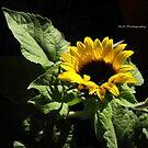 sunflower by kailani carlson