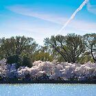 Cherry Blossom at Potomac River by Gustavo Bernal