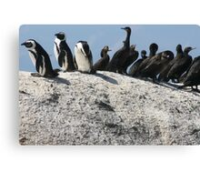 Penguins in South Africa Canvas Print