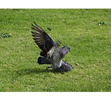 Pigeon Passion Photographic Print