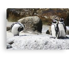 3 South African Penguins Canvas Print