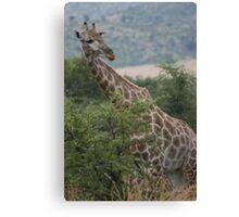 Giraffe in South Africa Canvas Print