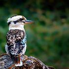 Kookaburra Sits... by Tracie Louise