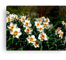 Smiling Daff's Canvas Print