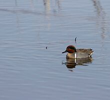 Drake Green-winged Teal 1 by Thomas Young