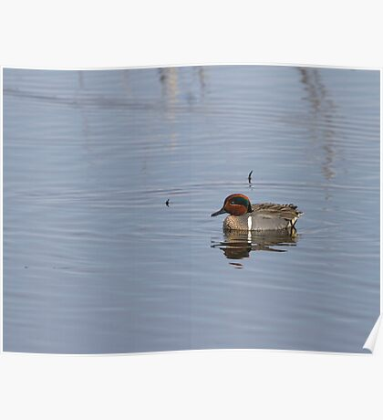 Drake Green-winged Teal 1 Poster