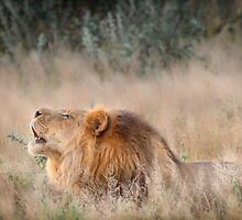 Roar of the Kalahari by Owed to Nature