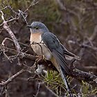 Fan-tailed Cuckoo by mosaicavenues