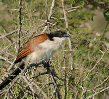 Burchall's Coucal by Vickie Burt
