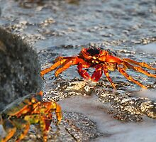 Coral Sea crabs at sunset by MJDUNN