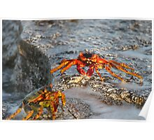 Coral Sea crabs at sunset Poster