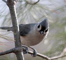 Tufted titmouse perched in a pine tree by Linda Crockett