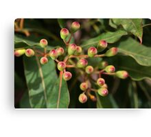Red Eucalyptus Flower Buds Canvas Print