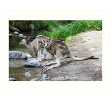 Eastern Grey Kangaroos  Art Print