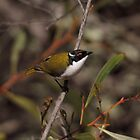 White-naped Honeyeater by mosaicavenues
