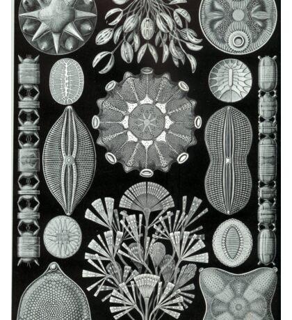 Haeckel Diatomea Sticker