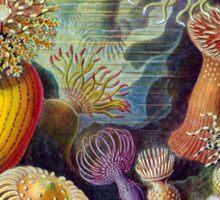 Haeckel Actiniae Sticker