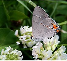 Grey Hairstreak Butterfly Photographic Print