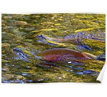 Spawning Sockeye Salmon Poster