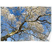 Star Magnolia Tree Poster