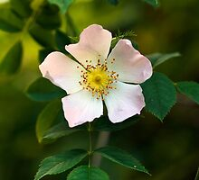 Wild Rose Flower by Michael Russell