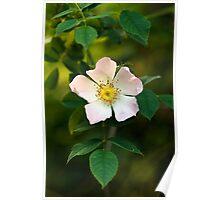 Wild Rose Flower Poster