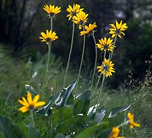 Arrowleaf Balsamroot by Michael Russell