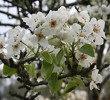 Beautiful Apple Blossom by taiche