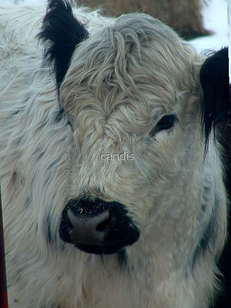cow by candis