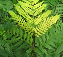 Fern by candis