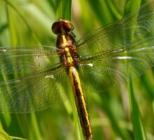 Dragonfly with clear wings Sticker