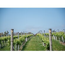 Vineyard rows Photographic Print