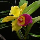 Two-tone Orchid by MarianBendeth