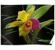 Two-tone Orchid Poster