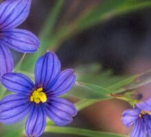 Blue-eyed grass Sticker