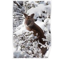 Wallaby in snow Poster