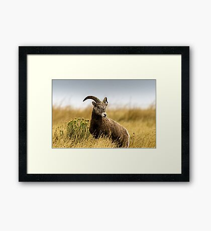Portrait of a Bighorn - (Ovis condenses) Framed Print