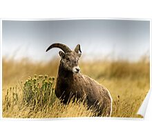 Portrait of a Bighorn - (Ovis condenses) Poster