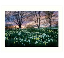 Litchfield Daffodils Art Print