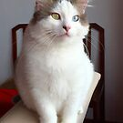 Turkish Van Pet Cat by Zoe Marlowe