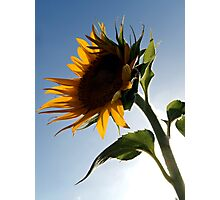 A SUNFLOWER'S PERSPECTIVE Photographic Print